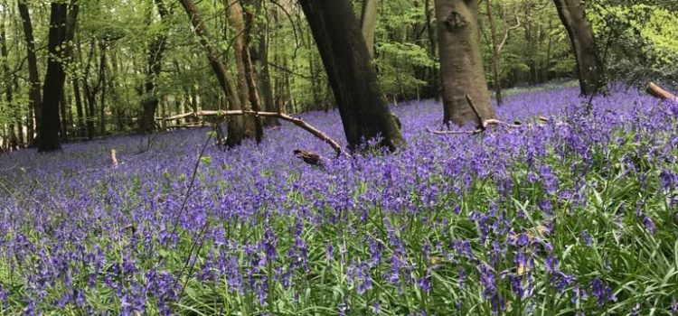 Bluebells or Blossoms Challenge